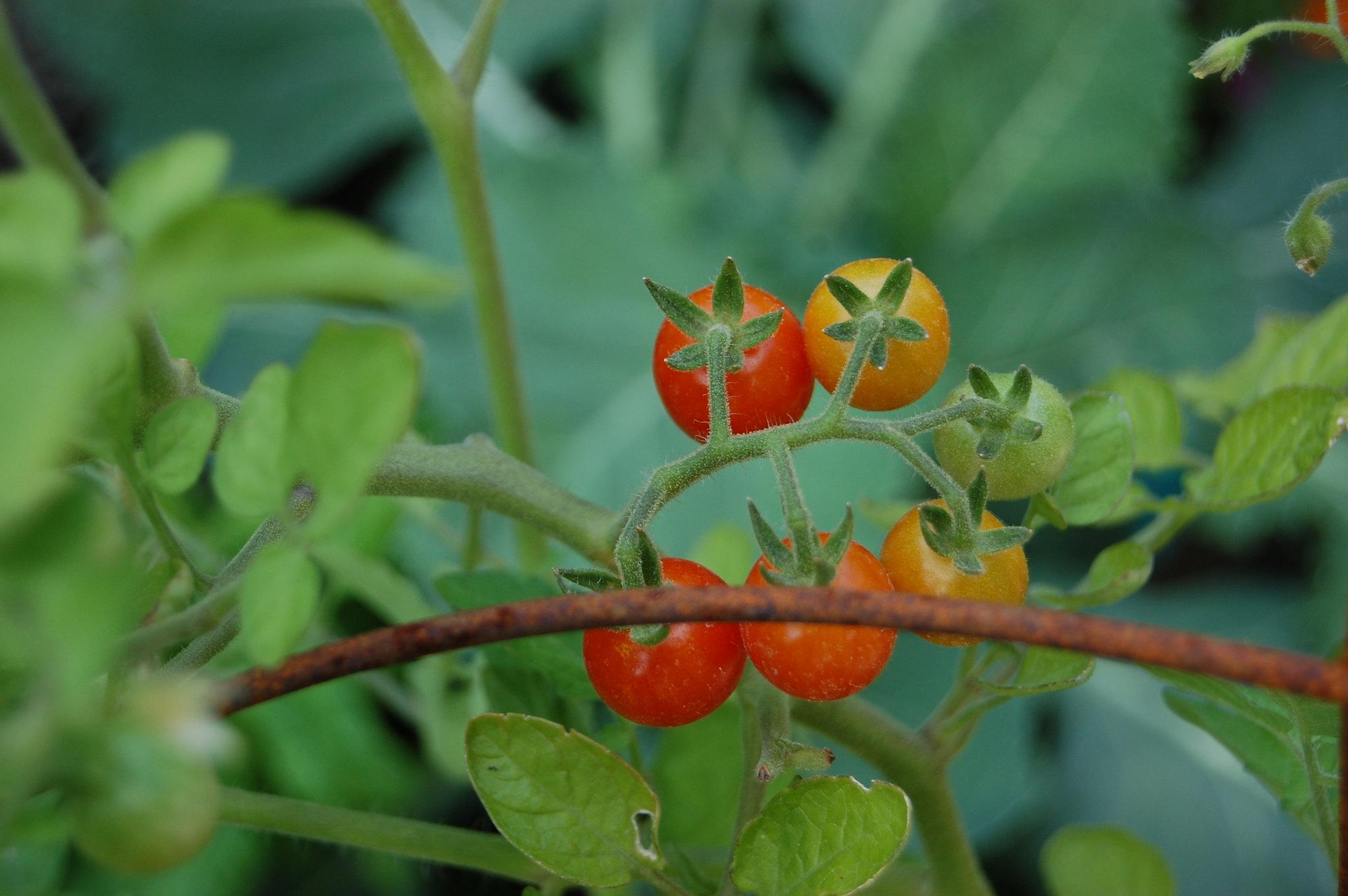 Tomato Mexican Midget 116