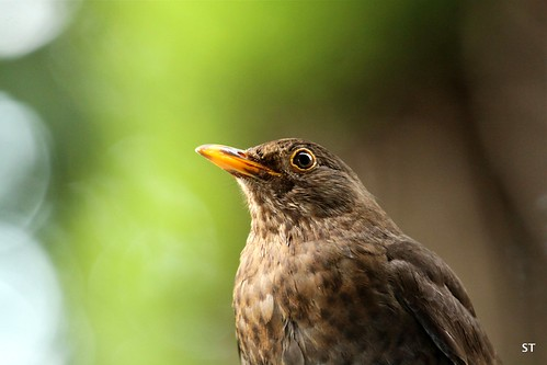 Mrs Blackbird