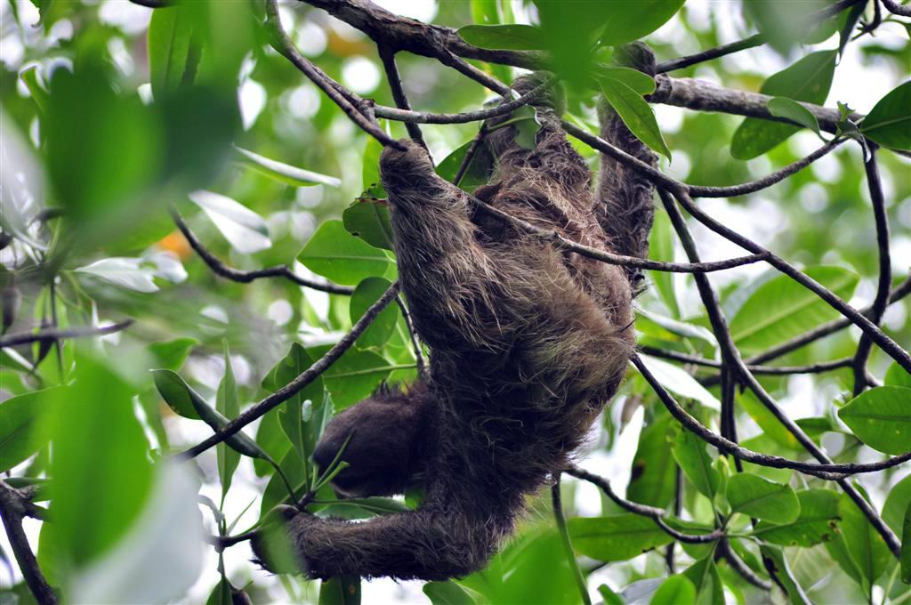 Los Osos Perezosos son habitantes habituales de la Isla Bastimentos bocas del toro - 7598218924 d8dc128fb7 o - Bocas del Toro, escondido destino vírgen en Panamá