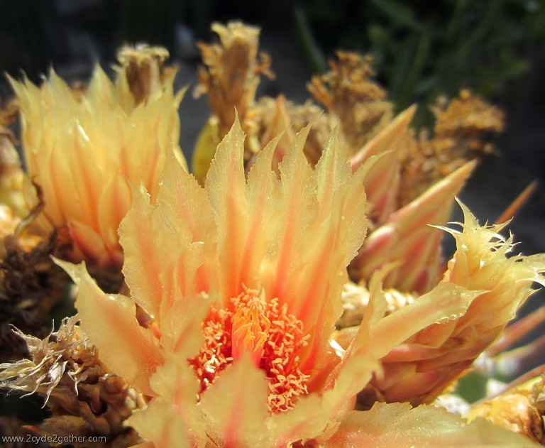 Close up of Flowering Cactus