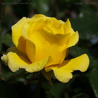 For you.. a yellow rose..
