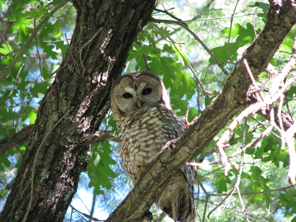 Adult Mexican Spotted Owl