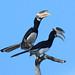 Malabar Pied Hornbill (Colin Johnson)