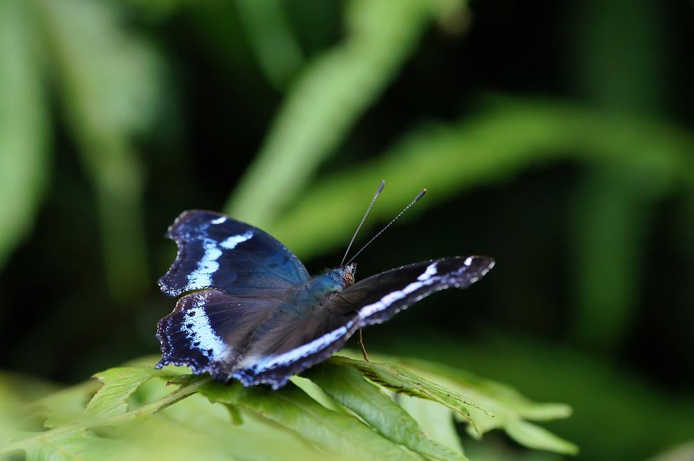 11-琉璃蛺蝶-2