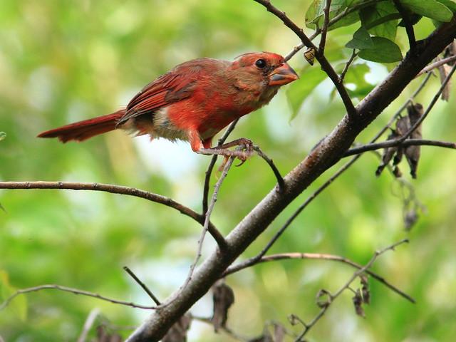 Northern Cardinal 2-20120808