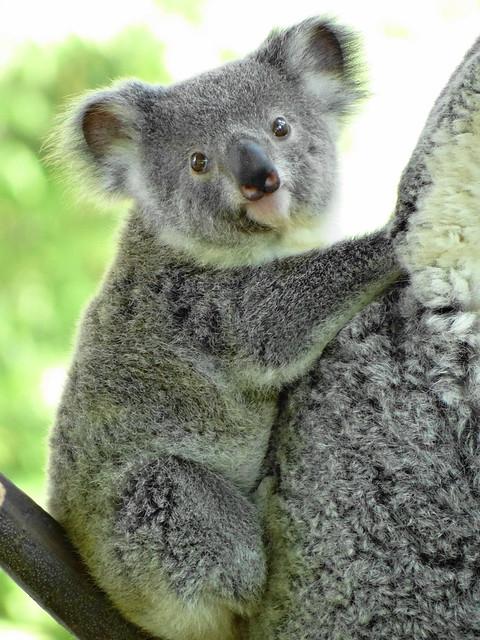 Paula The Koala