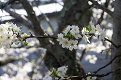 shrub(0.0), plant(0.0), produce(0.0), fruit(0.0), food(0.0), blossom(1.0), flower(1.0), branch(1.0), tree(1.0), sunlight(1.0), nature(1.0), flora(1.0), prunus spinosa(1.0), cherry blossom(1.0), spring(1.0), twig(1.0),