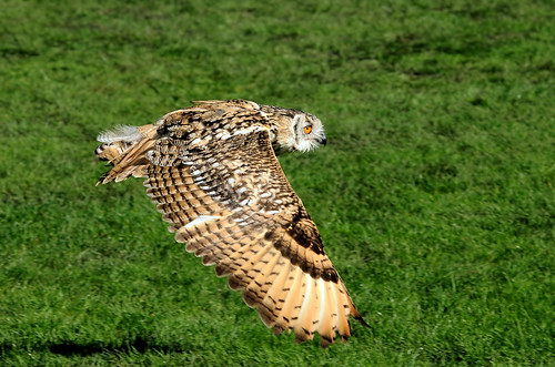 Owl in Flight by Andy Pritchard - Barrowford