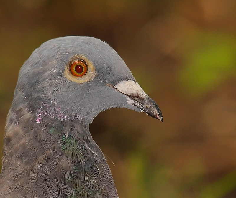 Portrait of a Lost Racing Homer Pigeon