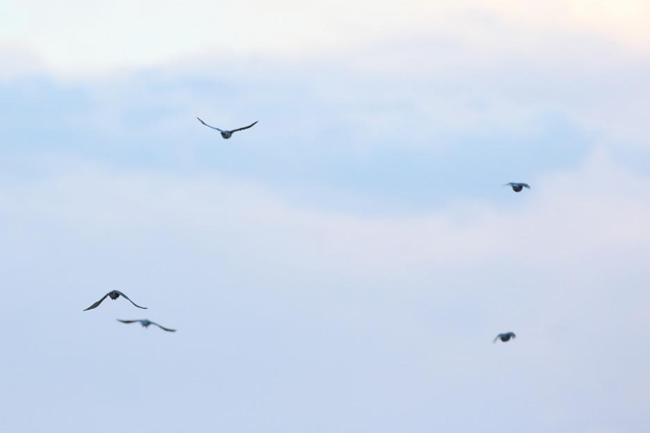 081212_02_bird_pinyonJay