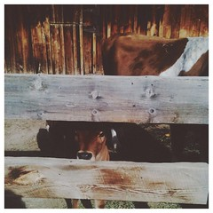 my new moo friend. #cow #farm #vscocam