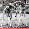 girafe (original)
