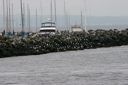 Edmonds Marina Birds