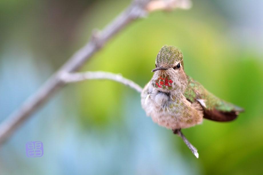 Anna's Hummingbird 032114-2