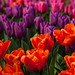 Tulipa 'Orange Monarch', 'Purple Flag, 'Christmas Marvel'; 6568