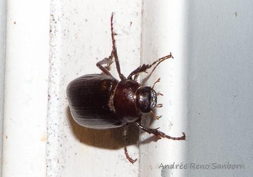 June Bugs (Phyllophaga)