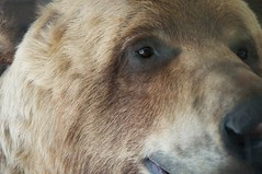 nose, animal, snout, mammal, fauna, close-up, brown bear, bear, wildlife,