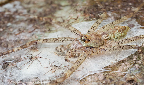 lichen huntsman with spiderlings...IMG_2191 merged copy