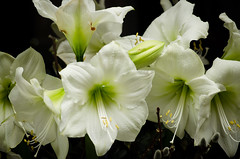 amaryllis belladonna(0.0), plant stem(0.0), narcissus(0.0), flower(1.0), gladiolus(1.0), macro photography(1.0), flora(1.0), petal(1.0),