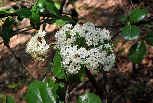 Rusty Black Haw, Viburnum rufidulum, flowering at Piney Creek Wilderness on March 31, 2012