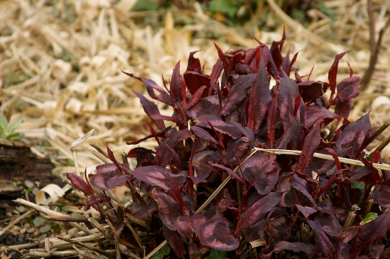 persicaria red dragon  1470