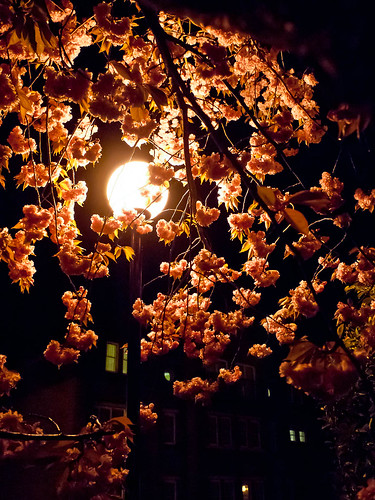1000/797: 26 April 2012: Cherry Blossom by Streetlight by nmonckton