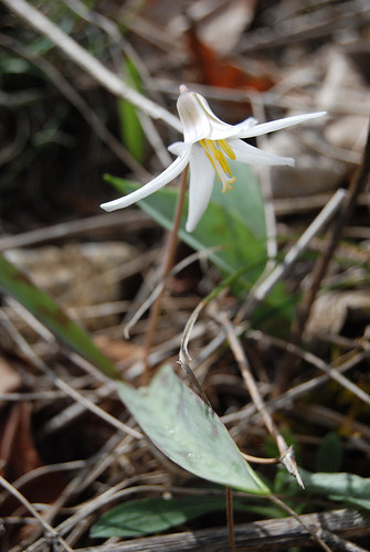 Picture Trout Lily, Erythronium albidum, a spring flowering member of the lily family that is native to the Ozarks.