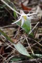 Trout Lily, Erythronium albidum