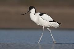Avoceta - Avocet - Recurvirostra avosetta