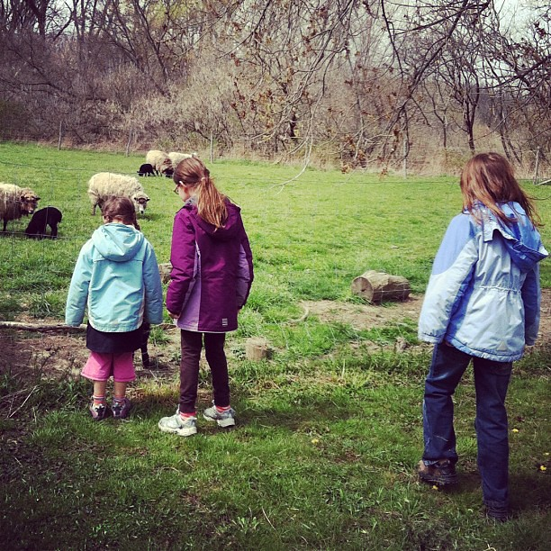 Took girl and friends to meet some baby lambs today.