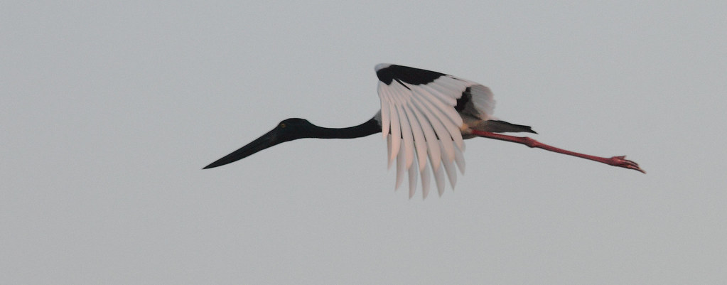 Black_Necked_Stork