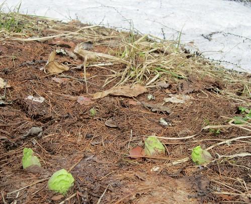 雪解けの後の蕗の薹 2012年4月15日 by Poran111