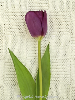 Purple Tulip on Vintage Knitted Fabric