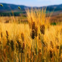 [フリー画像素材] 花・植物, 田園・農場, トウモロコシ ID:201206290600