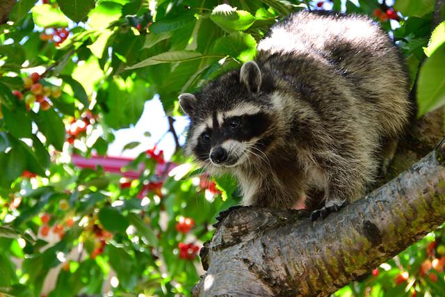 Cherry Robber