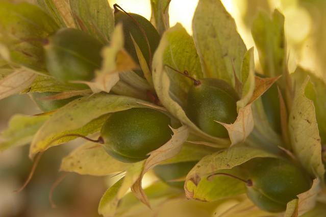 Frutos todavía verdes apunto de madurar