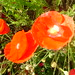 Red poppy close up