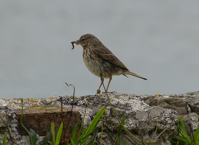 P1010575 - Rock Pipit, Mumbles Head