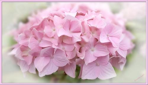 Powder Pink by Glenda Hall