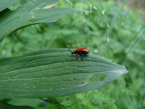 Lilioceris Lilii - petit coléoptère rouge écarlate - .Insecte parasite des lys et fritillaires cultivés ou sauvages - dès qu'il se sent en danger il feint la mort et se laisse tomber au sol - il passe l'hiver à l'état adulte enfoui sous la terre -