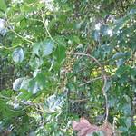 Bischofia javanica leaf and fruit