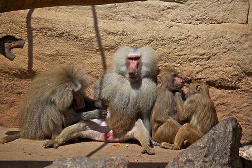 Baboon harem