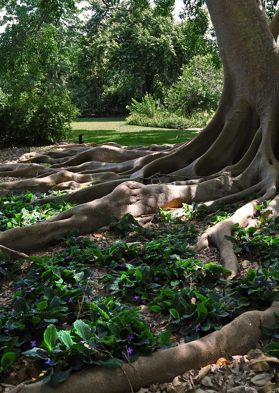 Ficus subcordata