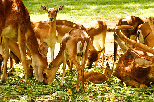 Deers, Bannerghatta National Park, Bangalore, India!!!