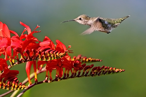 Anna's Hummingbird Approaching Crocosmia