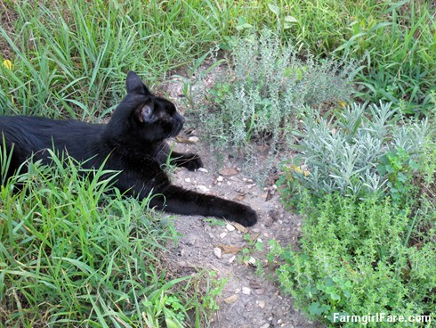 (21-3) Mr. Midnight relaxes by the lavender and thyme in the kitchen garden - FarmgirlFare.com