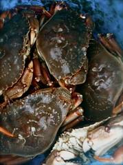 ocypodidae(0.0), homarus(0.0), chesapeake blue crab(0.0), american lobster(0.0), crab(1.0), animal(1.0), shellfish(1.0), crustacean(1.0), seafood(1.0), marine biology(1.0), invertebrate(1.0), dungeness crab(1.0), fauna(1.0), food(1.0),