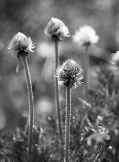 Pasque Flower, Seed stage (B&W)