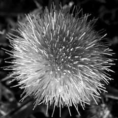 thistle flower - abstracted