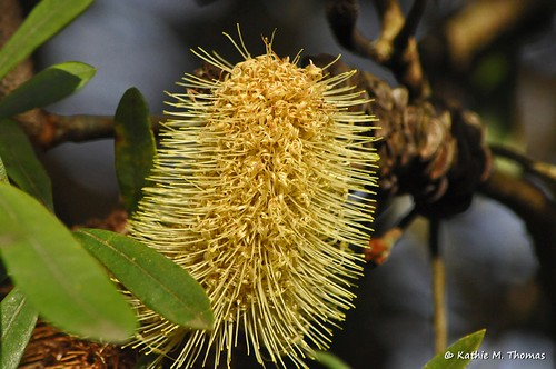 233-366 Yellow Banksia